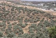 2 Olive Tree groves_746_497_100