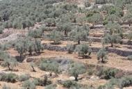 3 Olive Tree terrace_746_497_100