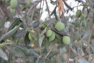 4 Olives on Olive Tree_746_497_100