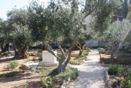 5 Olive Tree in Garden of Gethsemane_746_497_100