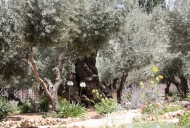 6 Olive Tree in Garden of Gethsemane_746_497_100