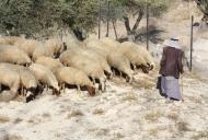 Shepherd with his sheep_746_497_100