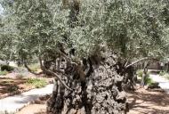 1 Olive Tree in Garden of Gethsemane_746_497_100 (1)