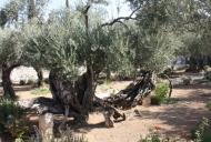 7 Olive Tree in Garden of Gethsemane_746_497_100